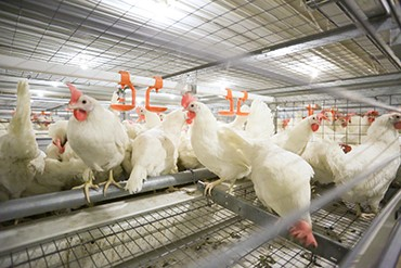 hens in an indoor laying facility